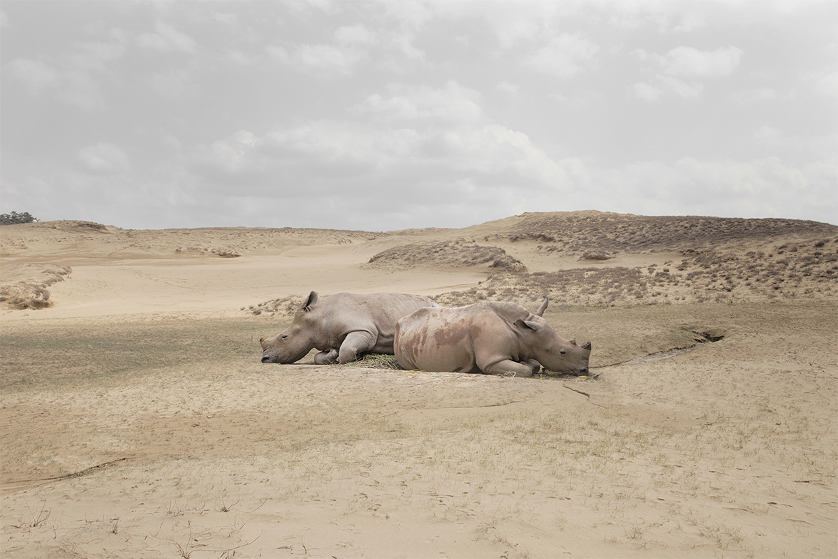 Rhinocerouses With No Horns